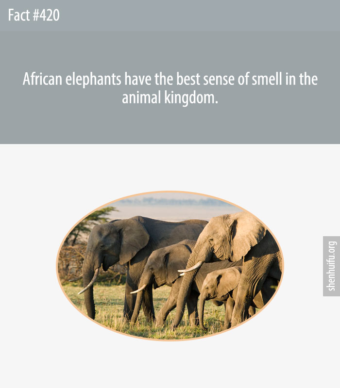African elephants have the best sense of smell in the animal kingdom.