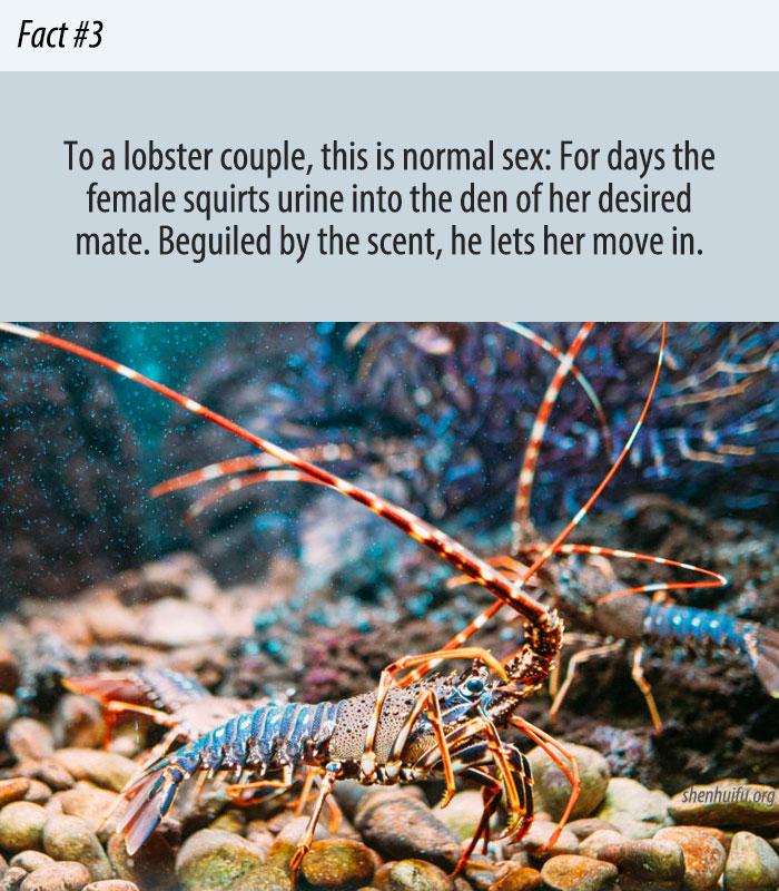The Weird World of Lobster Sex