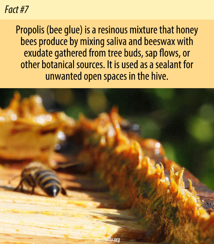Propolis Bee Glue