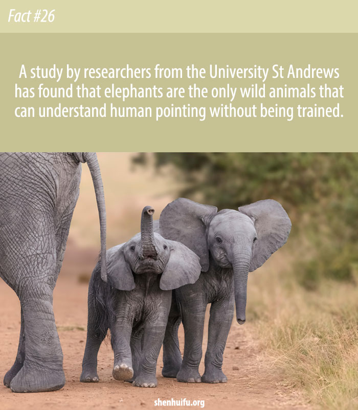 Elephants Get the Point of Pointing