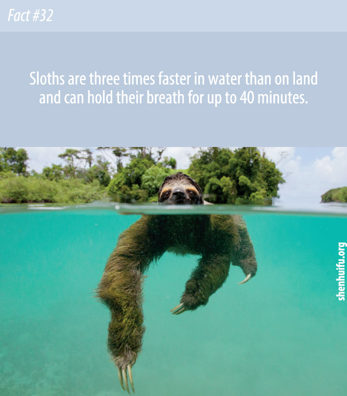 Sloths are three times faster in water than on land and can hold their breath for up to 40 minutes.
