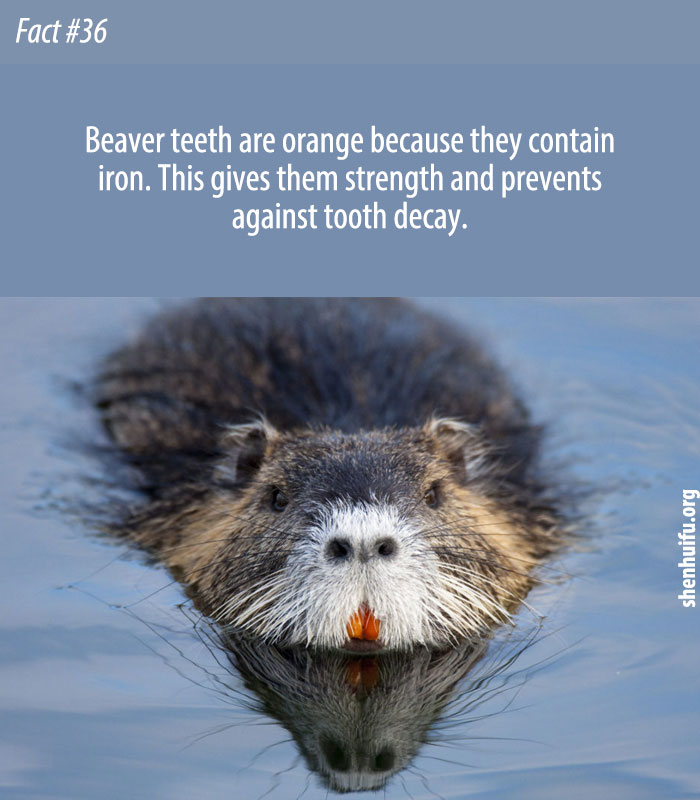 Beaver teeth are orange because they contain iron. This gives them strength and prevents against tooth decay.