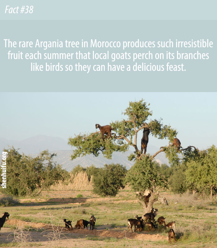 The rare Argania tree in Morocco produces such irresistible fruit each summer that local goats perch on its branches like birds so they can have a delicious feast.