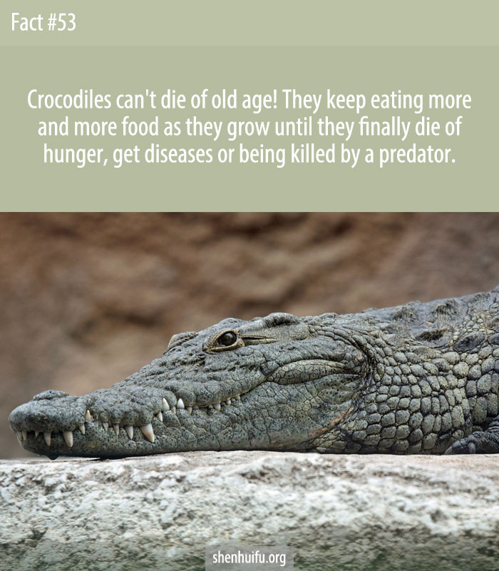 Crocodiles can't die of old age! They keep eating more and more food as they grow until they finally die of hunger, get diseases or being killed by a predator.