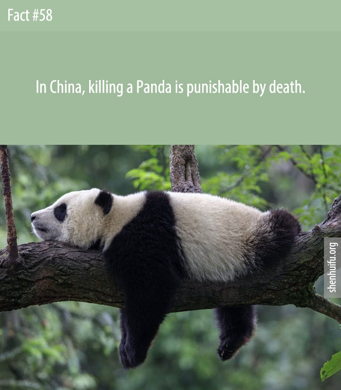 Killing a panda in China is punishable by death.