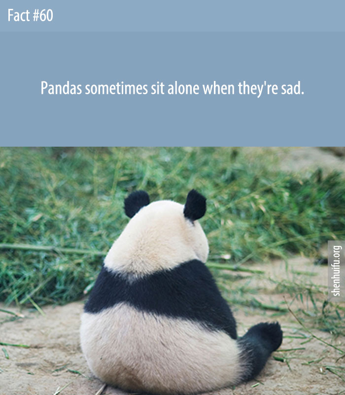 Pandas sometimes sit alone when they're sad.
