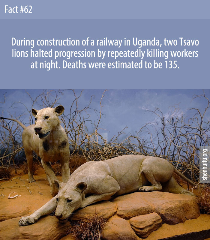 During construction of a railway in Uganda, two Tsavo lions halted progression by repeatedly killing workers at night. Deaths were estimated to be 135.