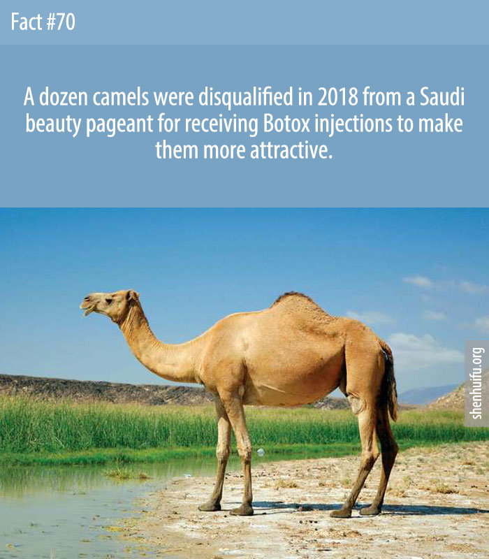 A dozen camels were disqualified in 2018 from a Saudi beauty pageant for receiving Botox injections to make them more attractive.