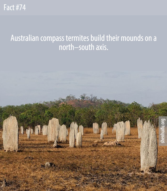 Australian compass termites build their mounds on a north–south axis.