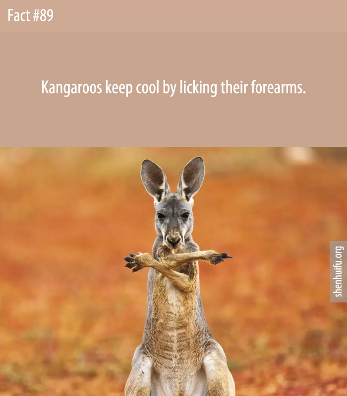 Kangaroos keep cool by licking their forearms.