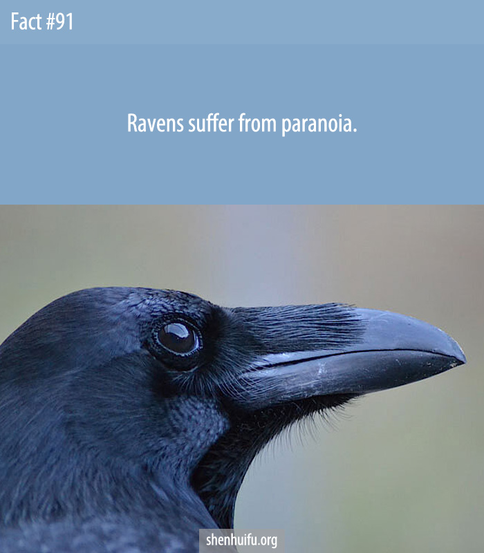 Ravens suffer from paranoia.