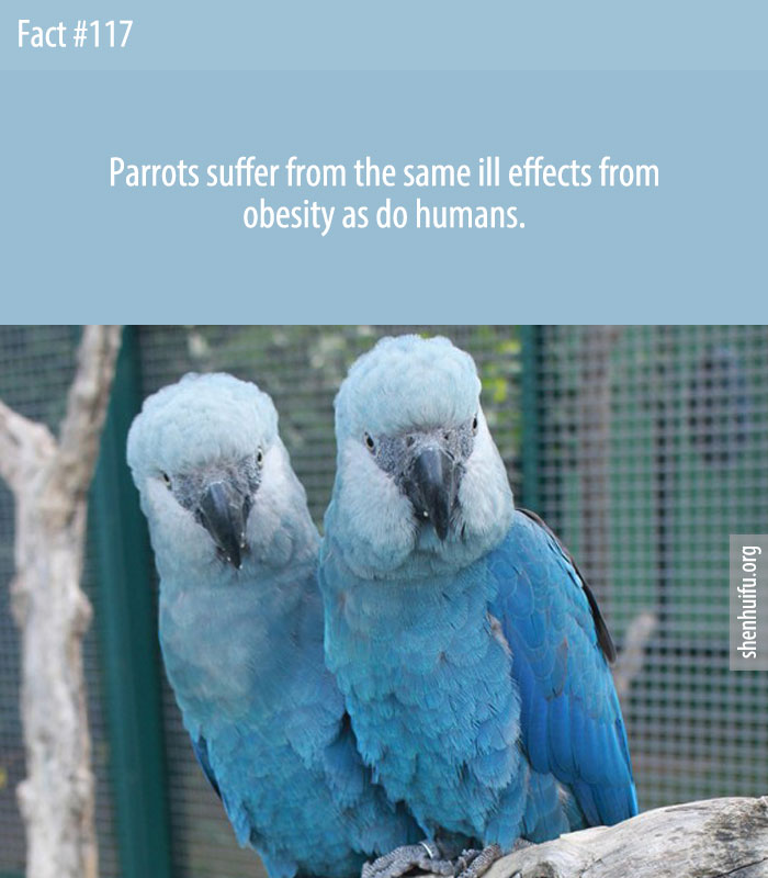 Parrots suffer from the same ill effects from obesity as do humans.