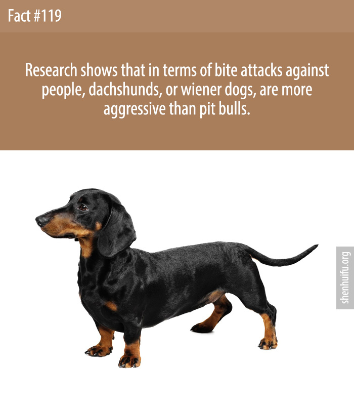 Research shows that in terms of bite attacks against people, dachshunds, or wiener dogs, are more aggressive than pit bulls.