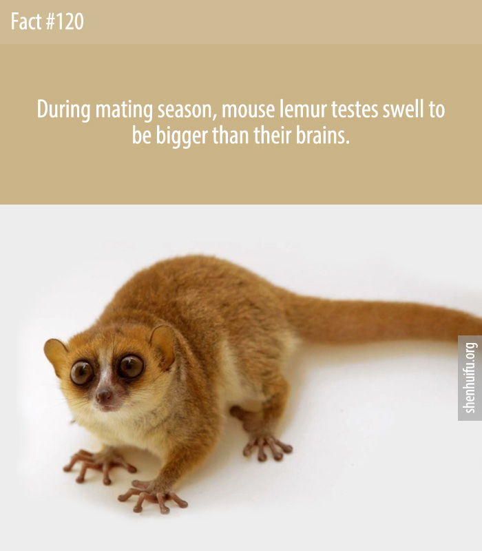 During mating season, mouse lemur testes swell to be bigger than their brains.