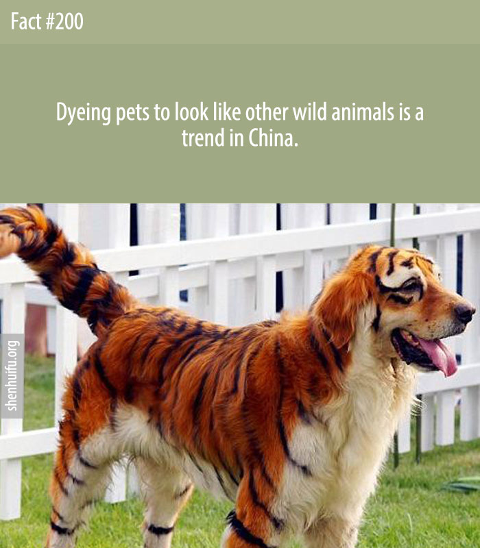 Dyeing pets to look like other wild animals is a trend in China.