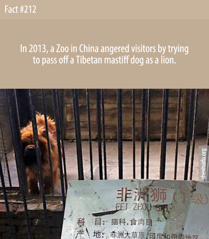 In 2013, a Zoo in China angered visitors by trying to pass off a Tibetan mastiff dog as a lion.