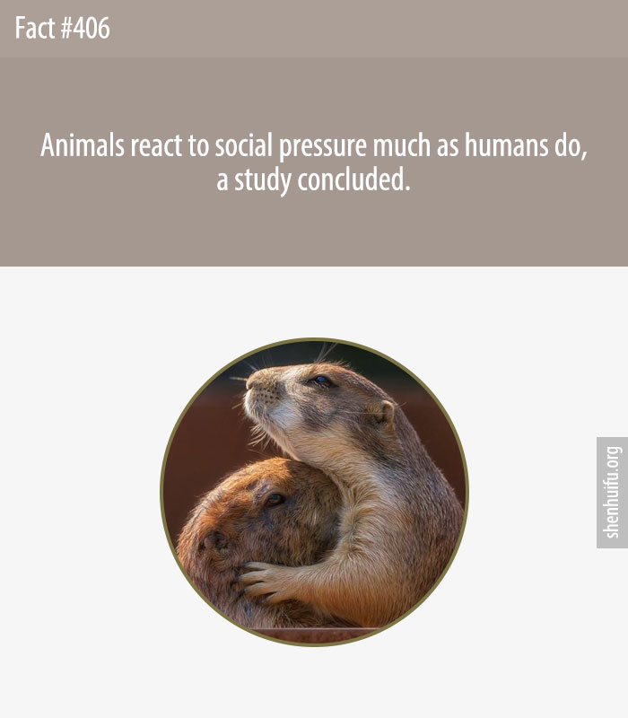 Animals react to social pressure much as humans do, a study concluded.