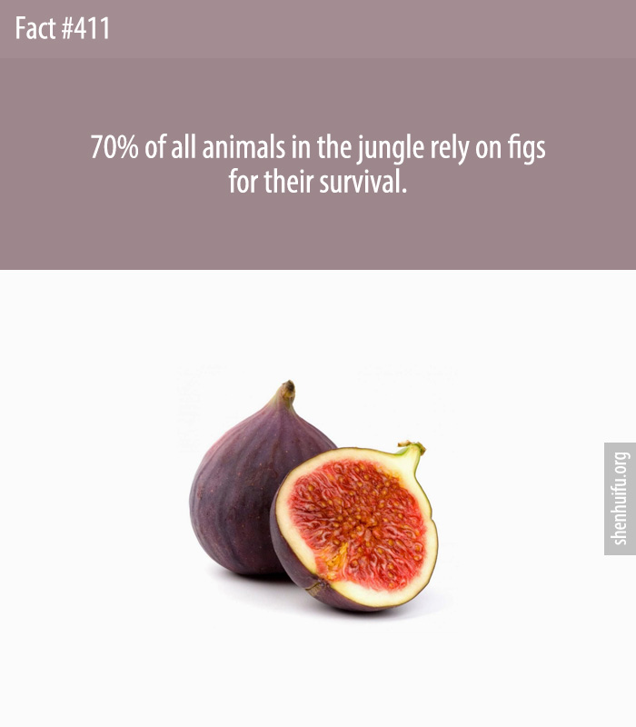 70% of all animals in the jungle rely on figs for their survival.