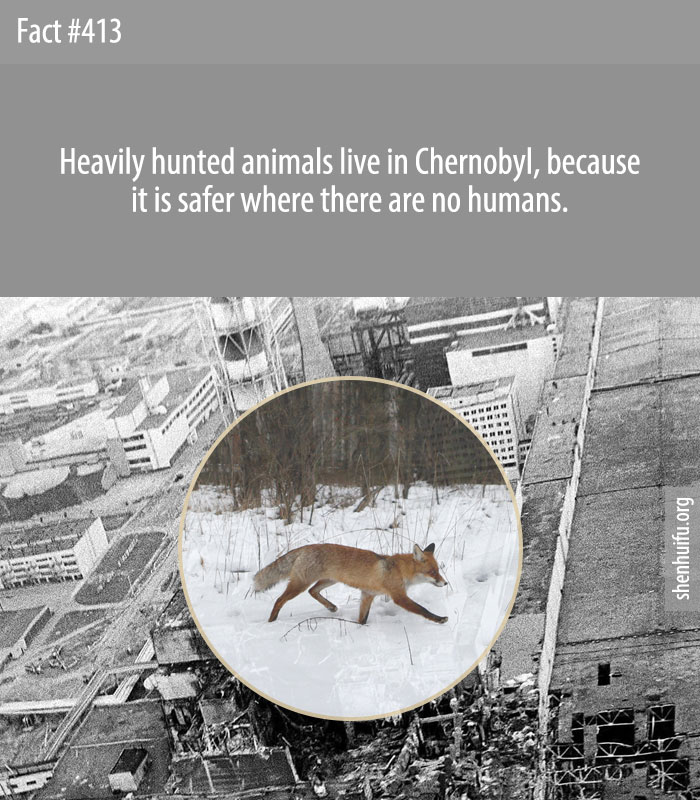 Heavily hunted animals live in Chernobyl, because it is safer where there are no humans.
