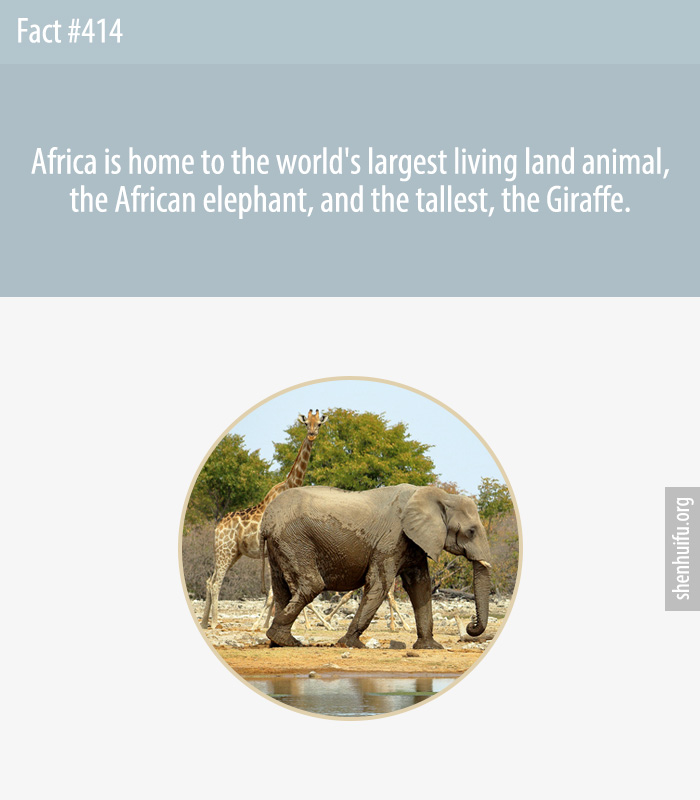 Africa is home to the world's largest living land animal, the African elephant, and the tallest, the Giraffe.