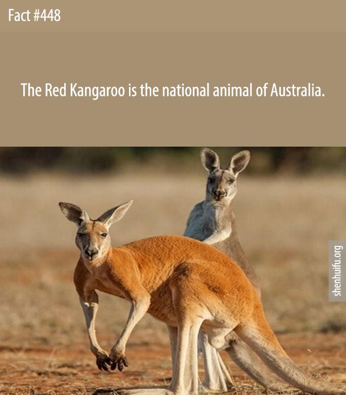The Red Kangaroo is the national animal of Australia.