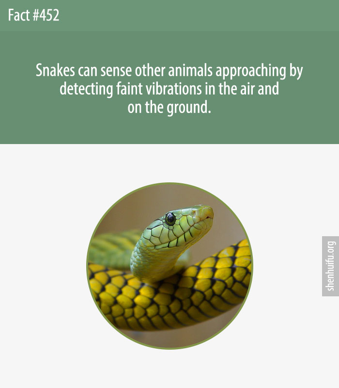 Snakes can sense other animals approaching by detecting faint vibrations in the air and on the ground.