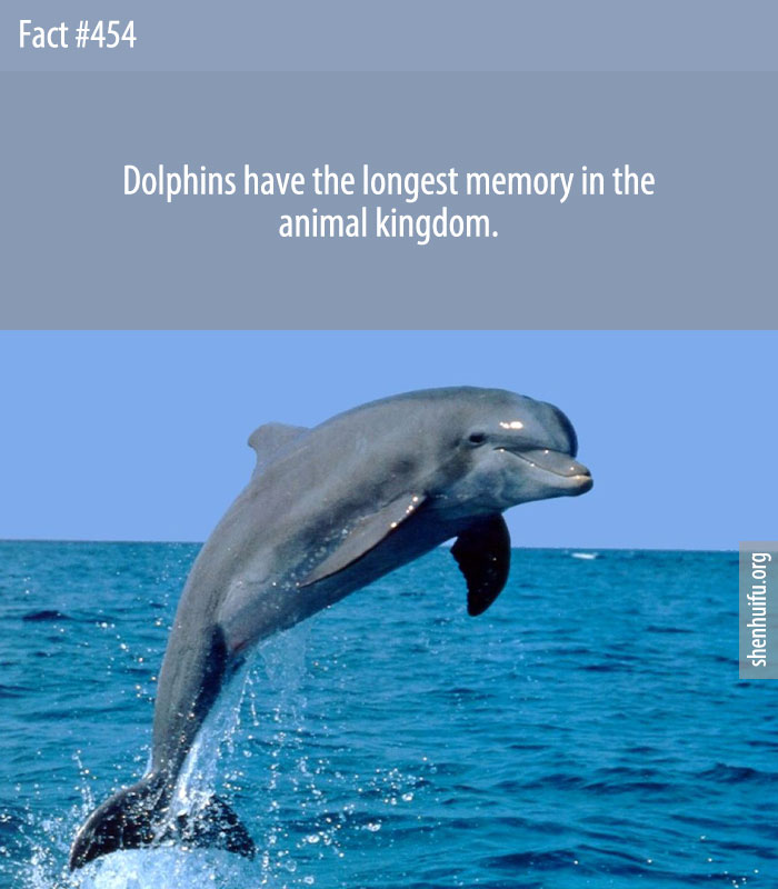 Dolphins have the longest memory in the animal kingdom.